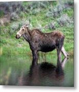 Moose Yellowstone Np_grk6918_05222018 Metal Print