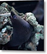 Moray Eel Eating Little Fish Metal Print
