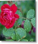 Morning Dew On A Rose Metal Print