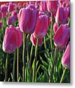 Morning Dew Tulips Metal Print