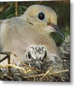 Morning Dove And Two Babys Metal Print
