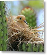 Mourning Dove Nest In A Cactus Metal Print