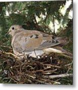 Morning Dove On Her Nest 2 Metal Print