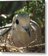 Morning Dove On Her Nest Metal Print