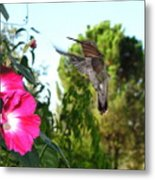 Morning Glories And Humming Bird Metal Print