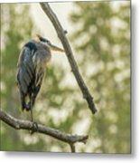 Morning Light On Great Blue Heron Metal Print