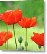 Morning Light Poppies Metal Print
