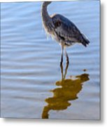 Morning Reflections Of A Great Blue Heron Metal Print