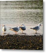 Morning Seagulls Metal Print