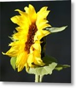 Morning Sunflower Metal Print