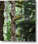 Moss-draped Trees On Tiger Mountain Wt Usa Metal Print