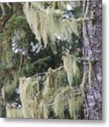 Moss On Pine Metal Print