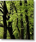 Mossy Trees In A Late Afternoon Forest Metal Print