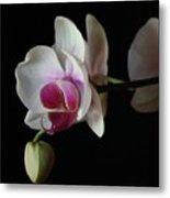 Moth Orchid 1 Metal Print