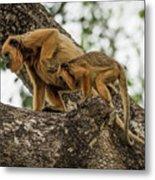Mother And Baby Black Howler Monkeys Climbing Metal Print