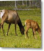 Mother Elk And Fawn Metal Print