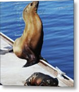 Mother And Baby Sea Lion At Oceanside  Metal Print