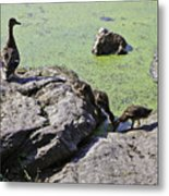 Mother And Her Ducklings Metal Print