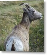 Mother Bighorn Metal Print