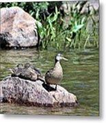 Mother Duck With Juveniles Metal Print