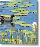 Mother Moorhen Metal Print