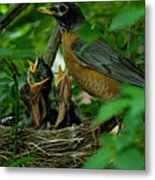 Mother Robin And Her Young Metal Print