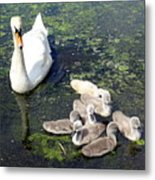 Mother Swan And Baby Cygnets Metal Print
