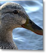 Mottled Duck Big Spring Park Crop Metal Print
