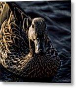 Mottled Duck In Big Spring Park Metal Print