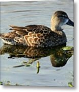 Mottled Duck Metal Print