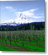 Mount Hood Behind Orchard Blossoms Metal Print
