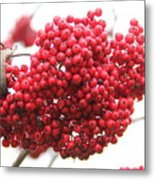 Mountain Ash Berries Metal Print