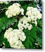 Mountain Ash Blossoms Metal Print