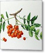 Mountain Ash With Berries  Metal Print