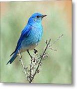Mountain Bluebird Beauty Metal Print