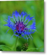 Mountain Cornflower Metal Print by Byron Varvarigos