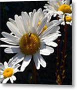Mountain Daisy Metal Print