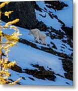 Mountain Goat And Larches Metal Print