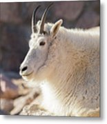 Mountain Goat Billy Basks In The Morning Sun Metal Print