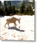 Mountain Goat Crossing A Snow Patch Metal Print