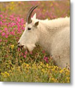 Mountain Goat In Colorful Field Of Flowers Metal Print