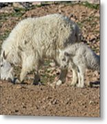 Mountain Goat Kid Stretches By Mom Metal Print