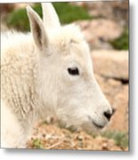 Mountain Goat Kid With Peaceful Gaze Metal Print