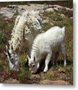 Mountain Goat Nanny And Kid Foraging At Columbine Lake - Weminuche Wilderness - Colorado Metal Print