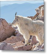 Mountain Goat Takes In Its High Altitude Home Metal Print