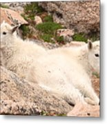 Mountain Goat Twins Metal Print