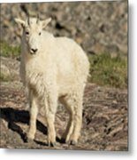 Mountain Goat Yearling Metal Print