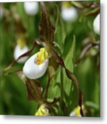 Mountain Lady Slippers Up Close Metal Print