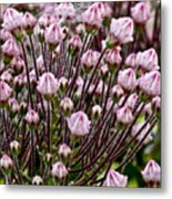 Mountain Laurel Bush Metal Print