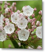 Mountain Laurel Metal Print